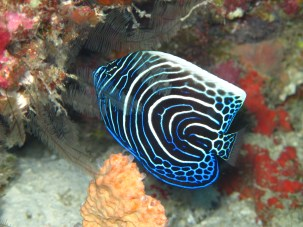 In the morning, while diving at 20 meters depth, the dark blue with white rings juvenile form.