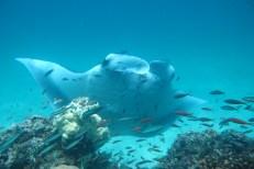 Reef Manta Ray Yihan at Coco Collection