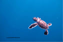 A Baby Green Sea Turtle Born At Coco Palm Dhuni Kolhu Swims Towards The Open Ocean