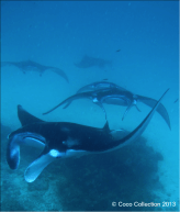 "Mature Female ""Croissant"" (M1019) Chased by Male Manta Ray near Coco Palm Dhuni Kolhu"