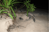 Coco Collection - Turtles Laying Eggs