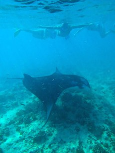 Manta Rays at Rasfari North Fish Spa Cleaning Station