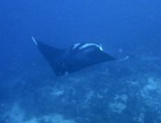 Oceanic Manta Ray COLOMBRE on February 10 2014 at Shark Point