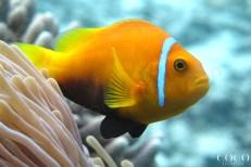 The Maldives Anemone fish (Amphiprion nigripes) at Dhuni Kolhu House Reef