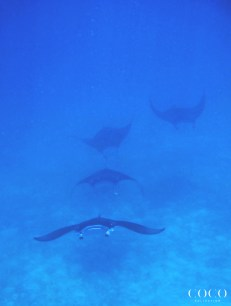 Large aggregations of reef Manta Rays can be seen mating and feeding together during our snorkeling trips