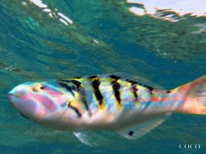 "Meet ""The Clown"" of Bodu Hithi House Reef"