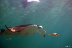 A Manta Ray and a Six-Bar Wrasse; Two of my favourite Fishes swimming together!