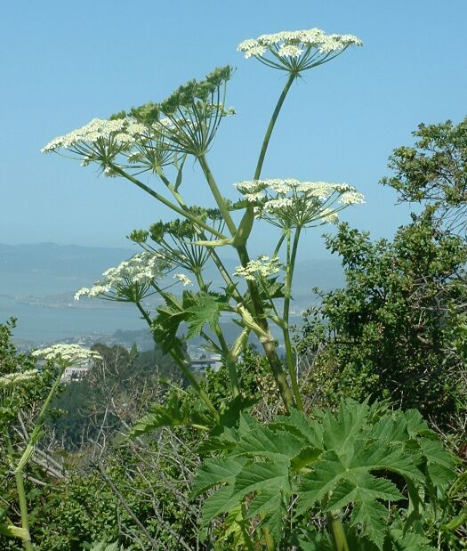 heracleum plant cow parsnip cococozy wikipedia