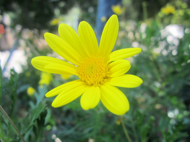 close up of a yellow daisy