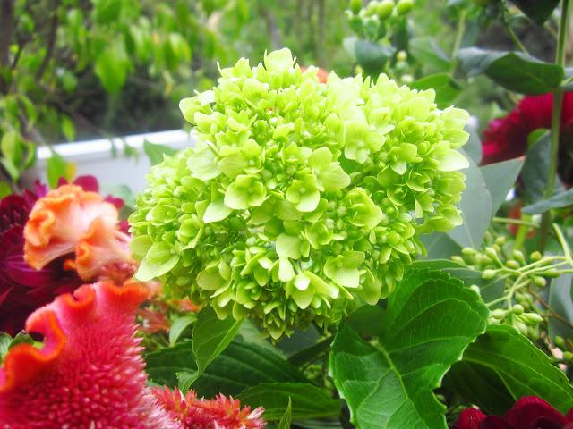 Close up Green Baby Hydrangea