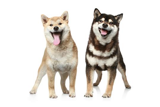 Coconut Oil for Dogs Health Benefits Fleas Ticks Coat