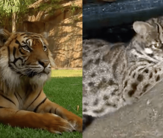 A Tiger Tale Hk Couple Now Says It Was A Leopard Cat They