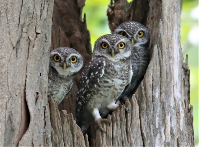 These spotted owlets residing around the Huai Kha Khaeng Wildlife Sanctuary in Uthai Thani province are glad they never got scapegoated like their larger North American cousins.