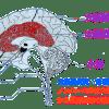 大脳辺縁系とノンバーバルの関係
