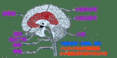 脳・大脳辺縁系
