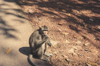 Monkeys around Angkor Wat