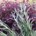 Natural Hair Rinse: Rosemary Herbal Hair Tea For Hair Growth