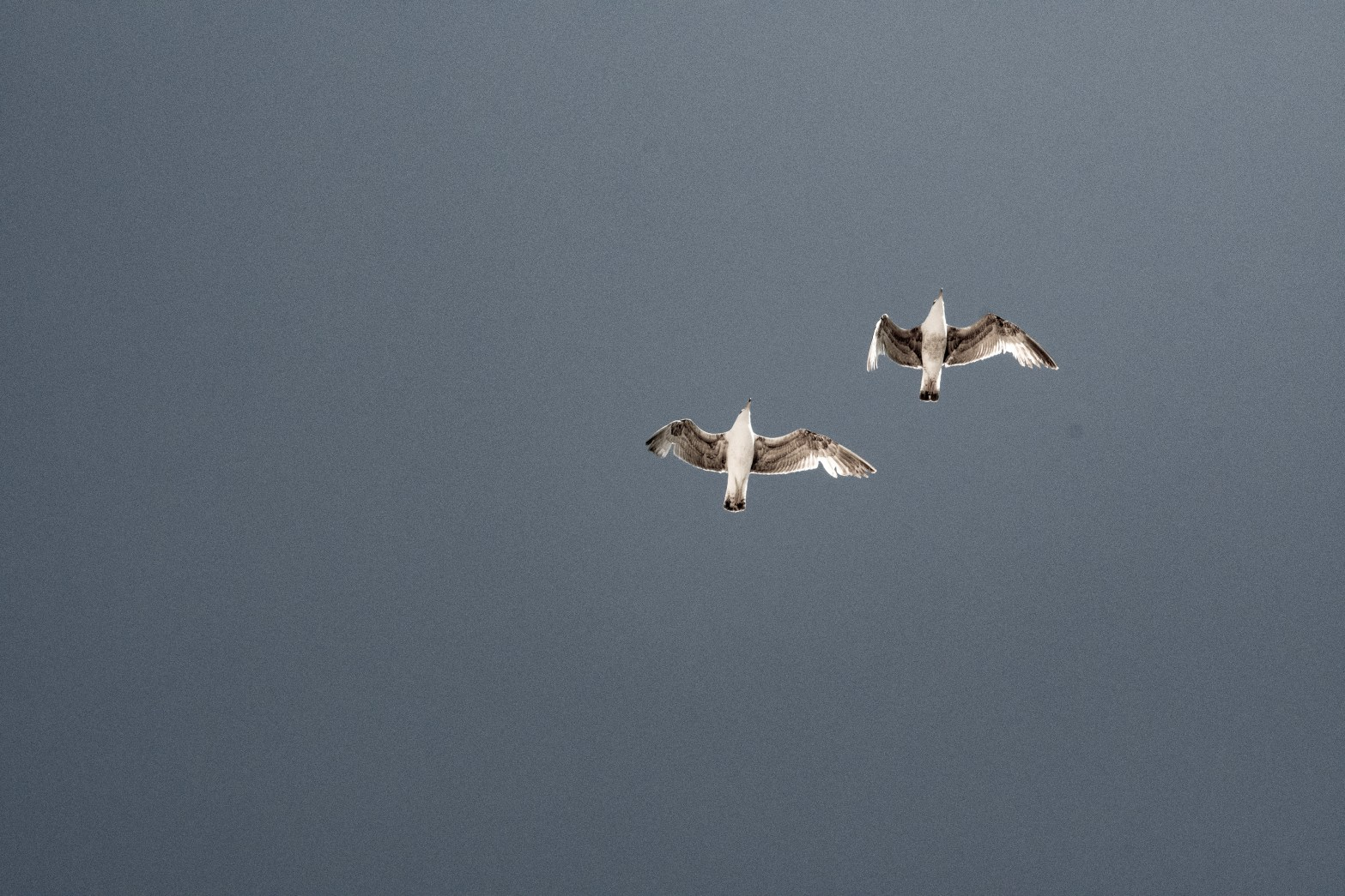 An picture of two seagulls with a grey sky in the background.