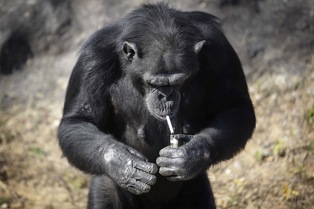 """Azalea, whose Korean name is """"Dallae"""", a 19-year-old female chimpanzee, lights a cigarette at the Central Zoo in Pyongyang, North Korea on Wednesday, Oct. 19, 2016. According to officials at the newly renovated zoo, which has become a favorite leisure spot in the North Korean capital since it was re-opened in July, the chimpanzee smokes about a pack a day. They insist, however, that she doesn't inhale. (AP Photo/Wong Maye-E)"""