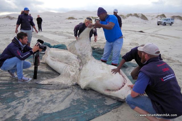 Dos enormes tiburones murieron asesinados por un grupo de Orcas
