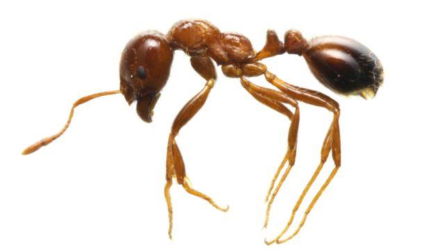 Japón en alerta roja, temen invasión de hormigas rojas de fuego