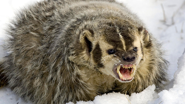 Un tejón enojado en la nieve
