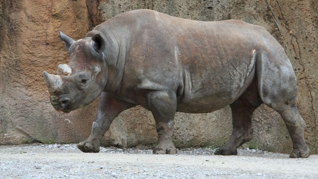 Un rinoceronte negro, animal en peligro de extinción