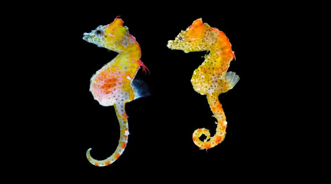 Caballitos de mar pigmeos de Japón
