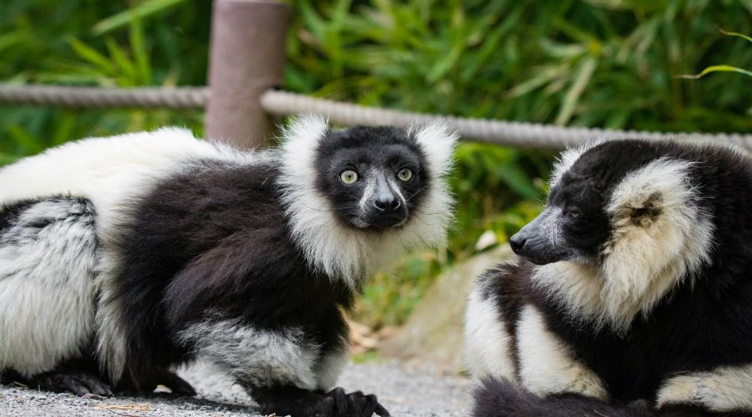 Los lémures son la especie de primates más amenazada del planeta