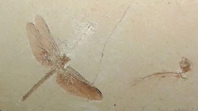 Fósil de libélula que estaba en exhibición en el Museo Nacional.