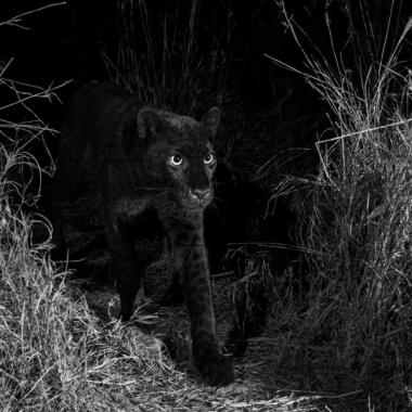 Imágen Leopardo Negro