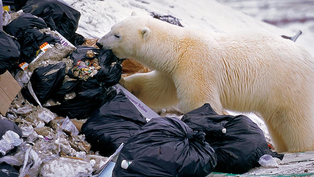 Oso Polar, Plástico, Dieta, Ártico 1.psd