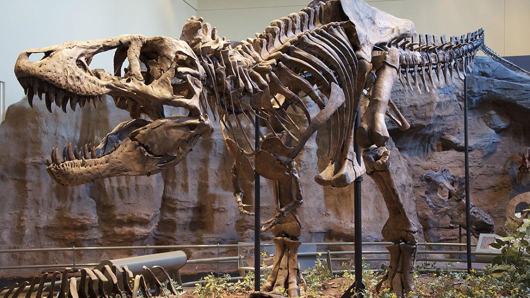 T Rex, Fósil, eBay, Paleontólogo