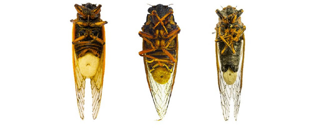 El hongo massopora las hace alucinar, pero también hace que las cigarras pierdan sus extremidades, órganos sexuales y cola.