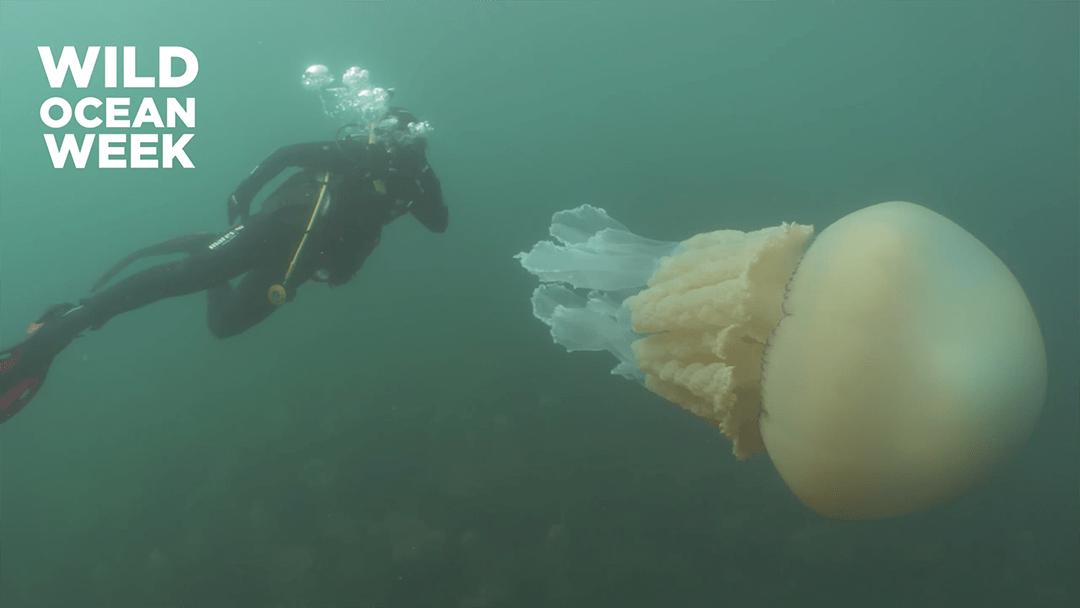 Medusa Gigante Buzos Inglaterra