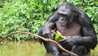 27/09/19, Chimpances, Bobones, Sexo, Homosexual