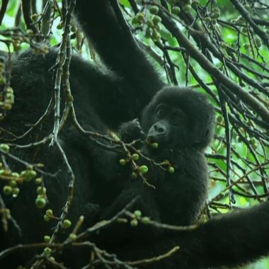Gorilas Cantando