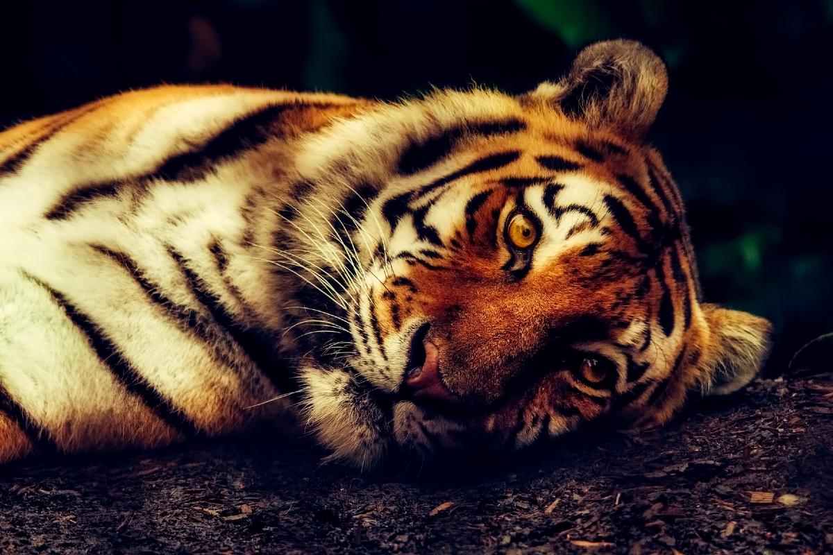 Tigre Zoológico Nueva York