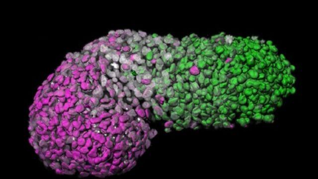 Los científicos crearon un plano embrionario humano a partir de células madre