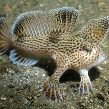 Pez De Mano Liso, Pez Extinto, Especies En Peligro