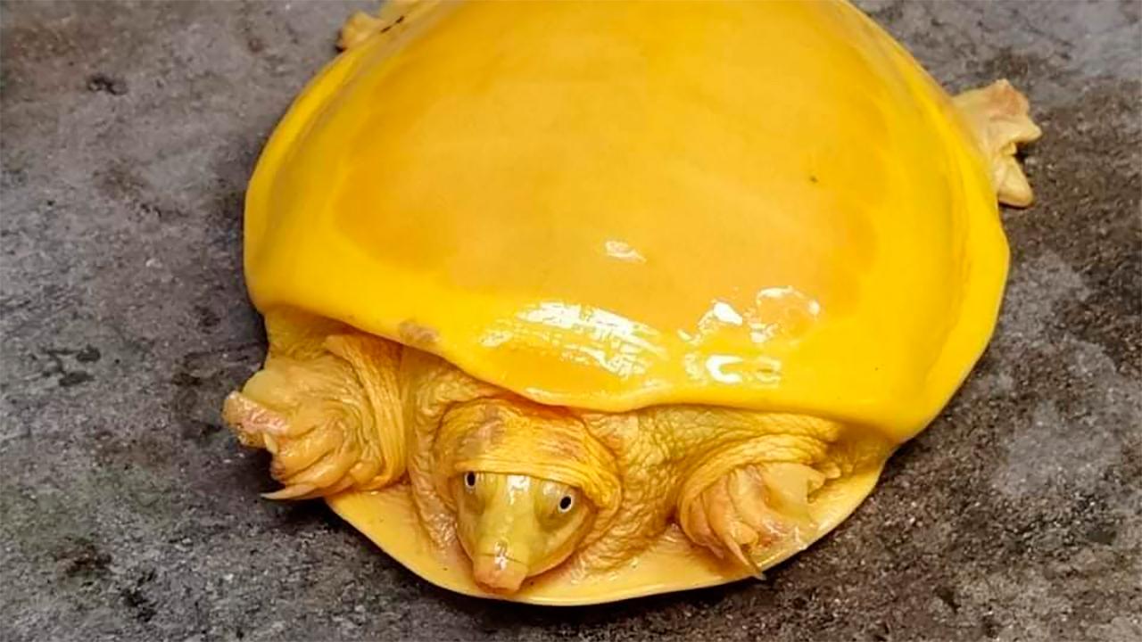 tortuga amarilla en India