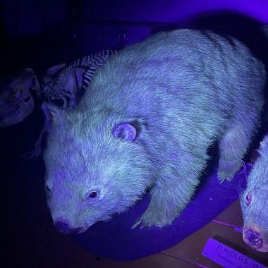 Wombat Museo