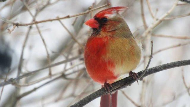 Se descubre un ave mitad hembra y mitad macho, pero no es hermafrodita