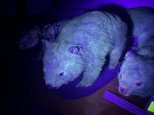 Wombat Brillando en la Oscuridad