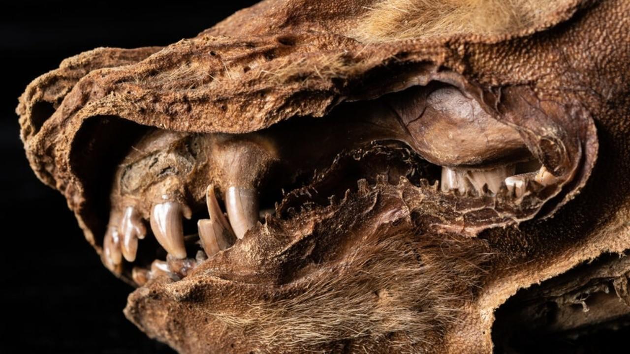 Encuentran una momia de un lobo cachorro que habitaba en el antiguo Ártico