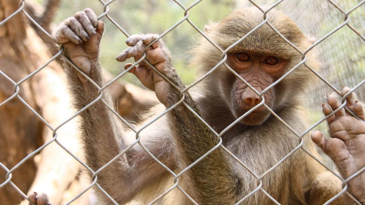 NASA es acusada de sacrificar 27 monos en 2019