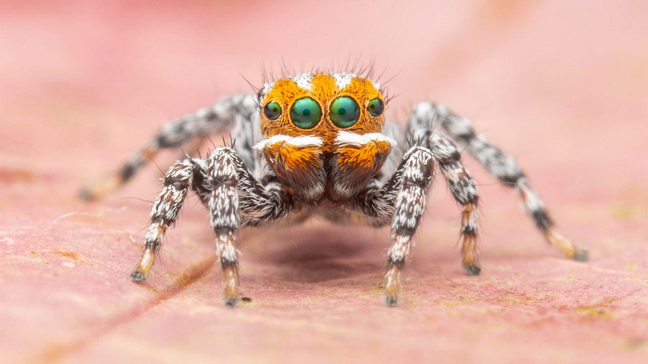 Nemo nueva especie araña pavo real Australia