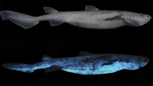 Tiburones brillantes