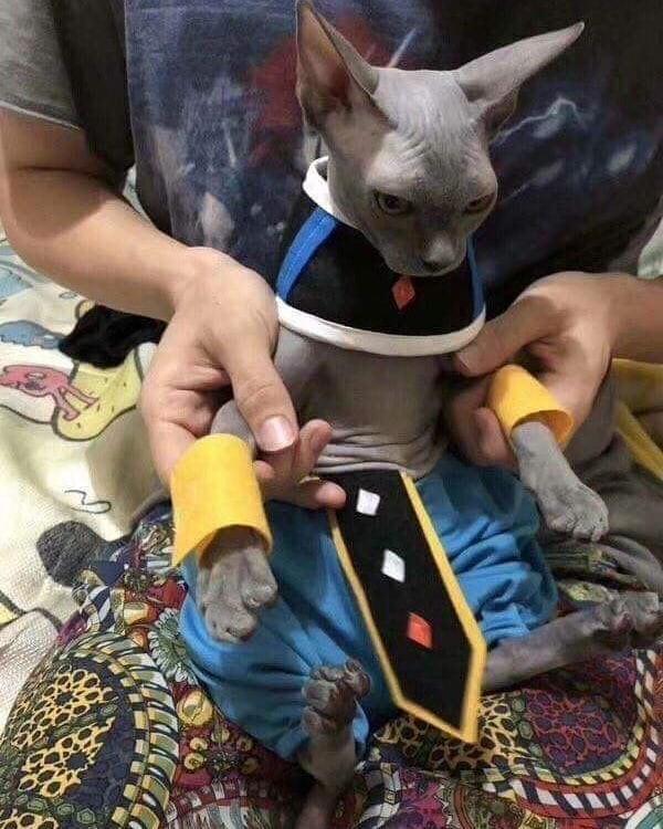 Dragon Ball: Gatito recrea a Bills el Dios de la Destrucción con este cosplay