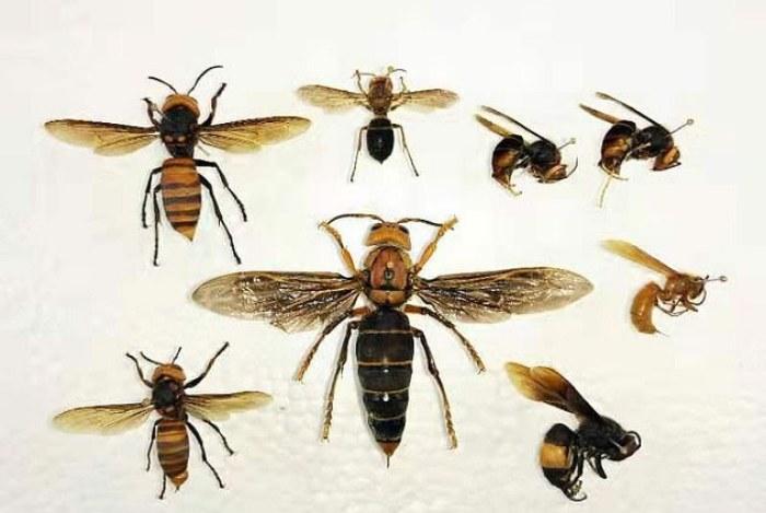 Los avispones asesinos asiáticos crecen hasta 45 mm y tienen una envergadura de tres 75 mm. Son agresivos depredadores de abejas y otros insectos polinizadores